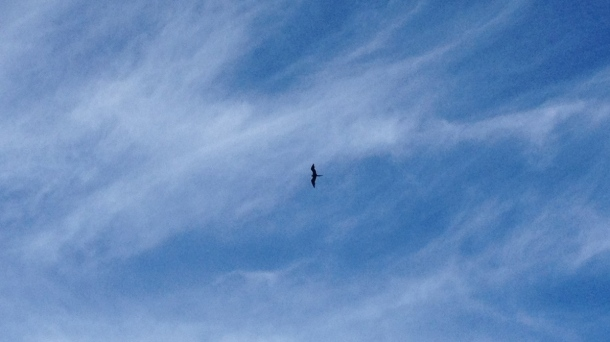 Magnificent Frigatebird in clear skies. See, it's like how clear I am on semantics now. Get it?